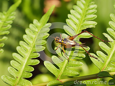 Cricket on fern leaves