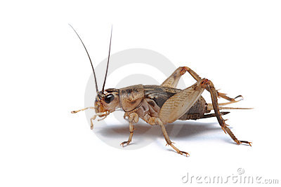 Cricket isolated