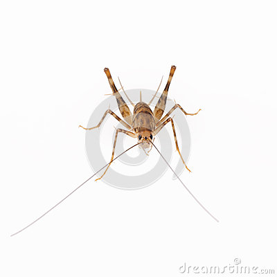 Cricket spider