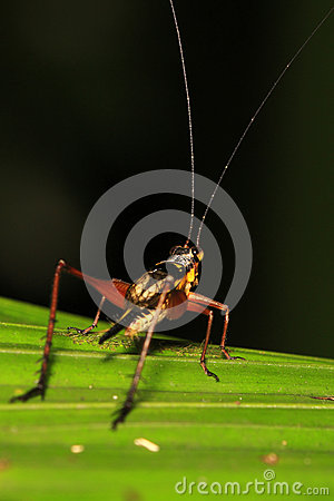 Cricket on leaf 2