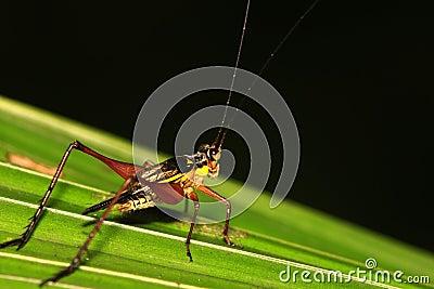 Cricket on leaf 1