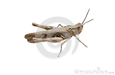 The Crimean Grey Grasshopper Stock Photography - Image: 32074082