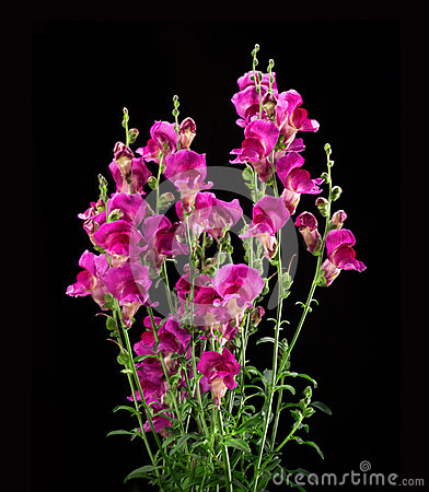 Free Crimson Antirrhinum Flower On Black Background Royalty Free Stock Photos - 50974718