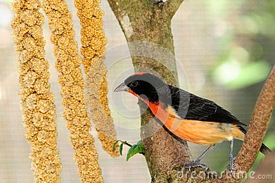 Crimson-breasted finch bird