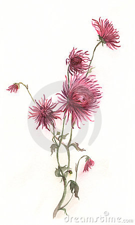 Free Crimson Chrysanthemum Flower Watercolor Painting Royalty Free Stock Image - 4350666