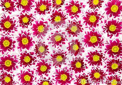 Crimson chrysanthemums