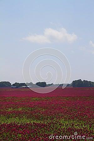 Crimson Clover - Trifolium incarnatum