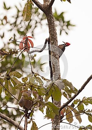 The Crimson-crested Woodpecker