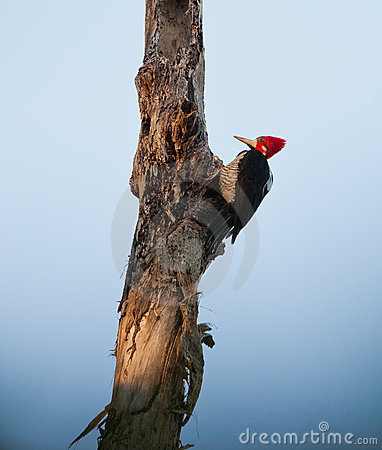 Crimson-crested Woodpecker at sunrise