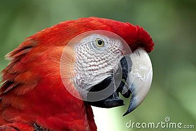 Crimson Macaw in Profile