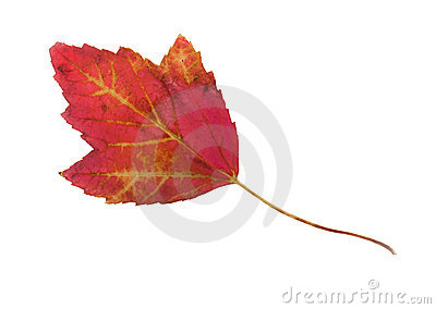 Crimson maple leaf on white