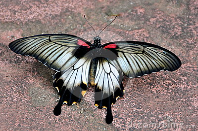 Crimson Mormon Butterfly,Papillio rumanzoria