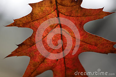 Crimson Oak Leaf Macro