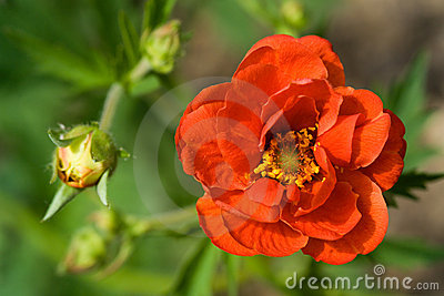 Crimson Potentilla flower