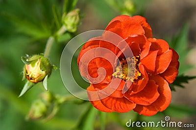 Crimson Potentilla flower