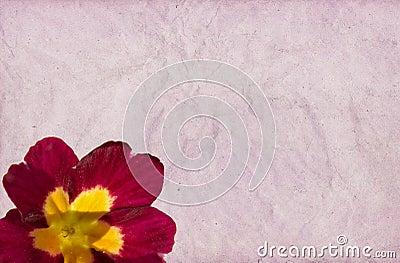 Crimson Primula