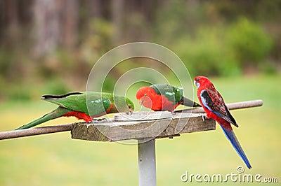 3 Crimson Rosella Feeding
