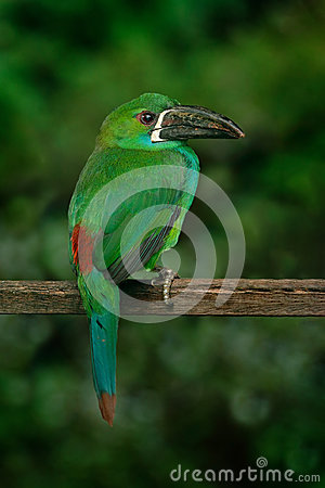 Free Crimson-rumped Toucanet, Aulacorhynchus Haematopygus, Green And Red Small Toucan Bird In The Nature Habitat. Exotic Animal In Trop Stock Photography - 97622602