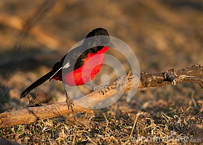 Crimson shrike on branch