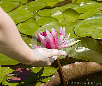 Crimson water lily in hand