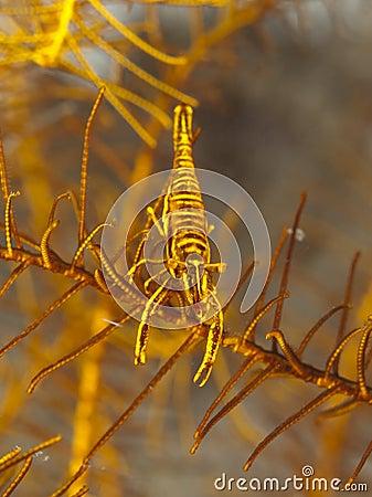 Free Crinoid Shrimp Stock Images - 29942694