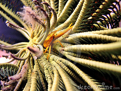 Crinoid Squat Lobster