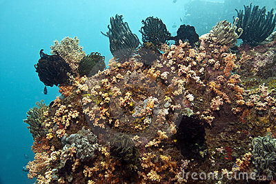 Crinoids on coral reef