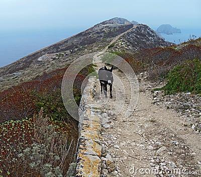 Croatian donkey