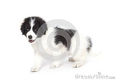 Tornjak puppy