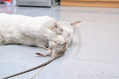 crochet de chat et souris de morsure rat photo stock image 55002055. Black Bedroom Furniture Sets. Home Design Ideas