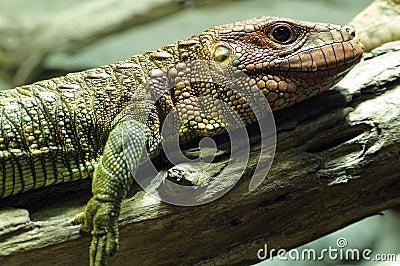 Crocodil-teju