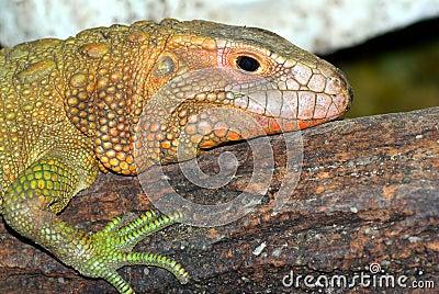Crocodil-Teju (Dracaena guianensis)