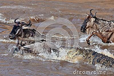 The crocodile attacks the wildebeest in river Mara