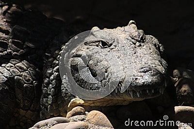 Crocodile Face