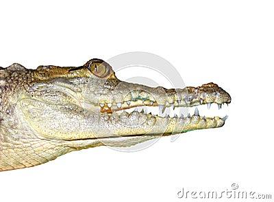 Crocodile face portrait macro detail