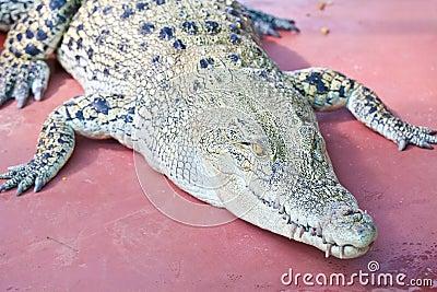 Crocodile on a farm
