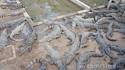 Crocodile farm in Siem Reap. Cambodia. Editorial Stock Image