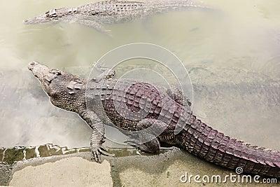Crocodile in farms