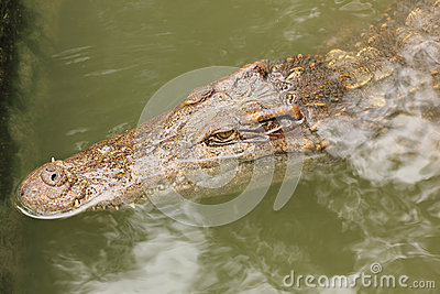Crocodile in farms