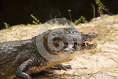 Crocodile with a fish