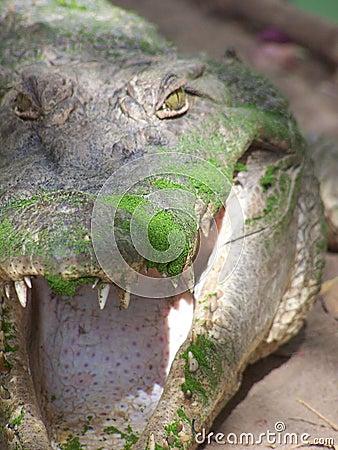 Crocodile in the Gambia