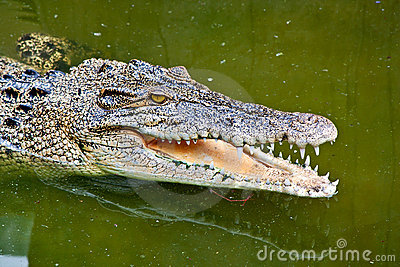 Crocodile in green pond