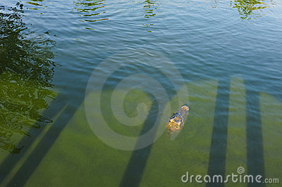 crocodile in green water