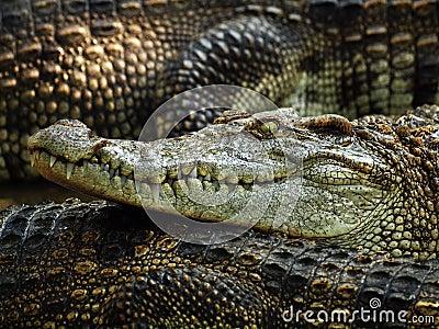 Crocodile head 2