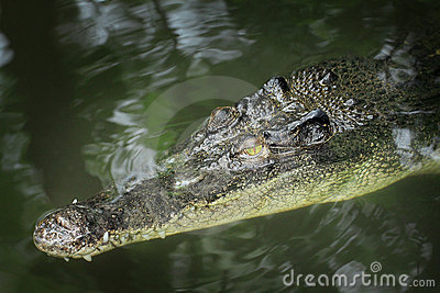 Crocodile head emerge