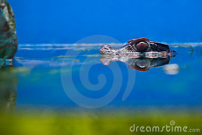 Crocodile head over water
