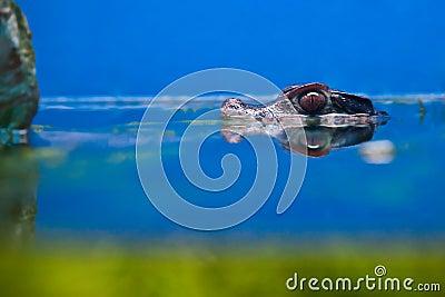 Crocodile head over water