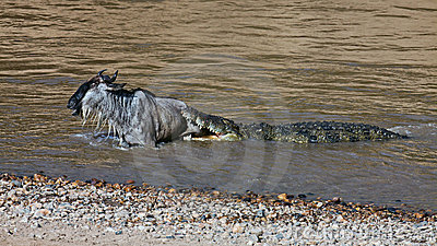 The crocodile holds the wildebeest in river Mara