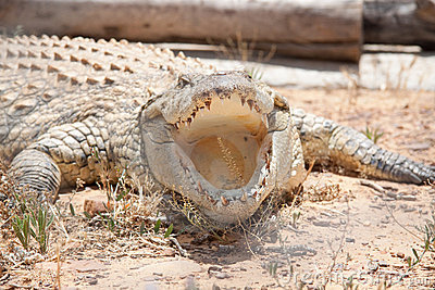 Crocodile with its mouth open