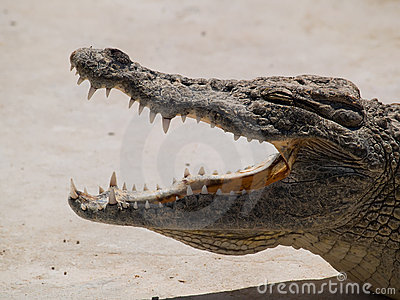 Crocodile jaw